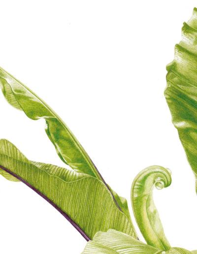 Asplenium nidus - bird's nest fern - watercolour 2014
