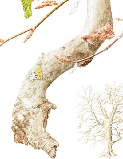 Beech Fagus sylvatica - watercolour 2015