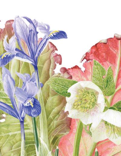 Bergenia, Hellebore & Iris gathering - watercolour 2015