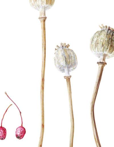 Hawthorn & poppy seedheads - watercolour 2013