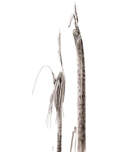 ink shoots - Arisaema consanguineum - ink 2017