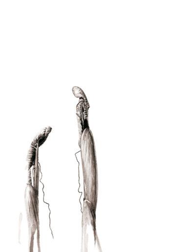 ink shoots - Arisaema costatum - ink 2016