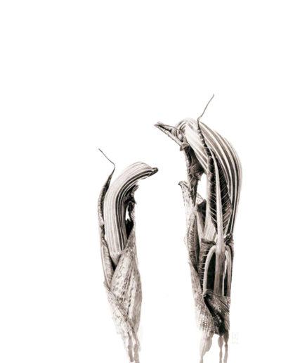 ink shoots - Arisaema ringens - ink 2016