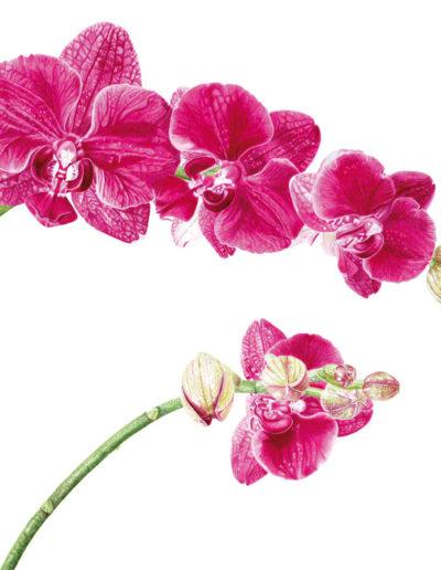 Phalaenopsis - watercolour 2015