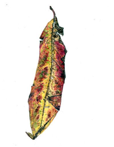 Leaf - colour pencil 2014