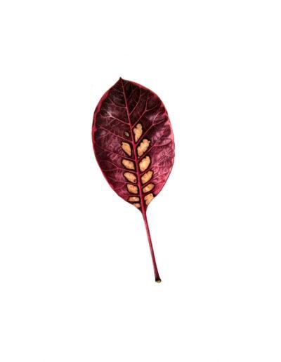 Smoke bush leaf - watercolour 2014