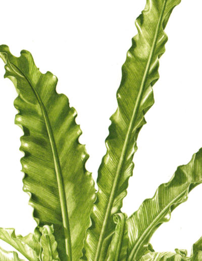 Asplenium antiquum 'Victoria' - Japanese bird´s-nest fern - watercolour 2012