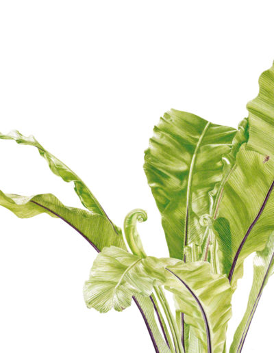Asplenium nidus - bird's nest fern - watercolour 2014