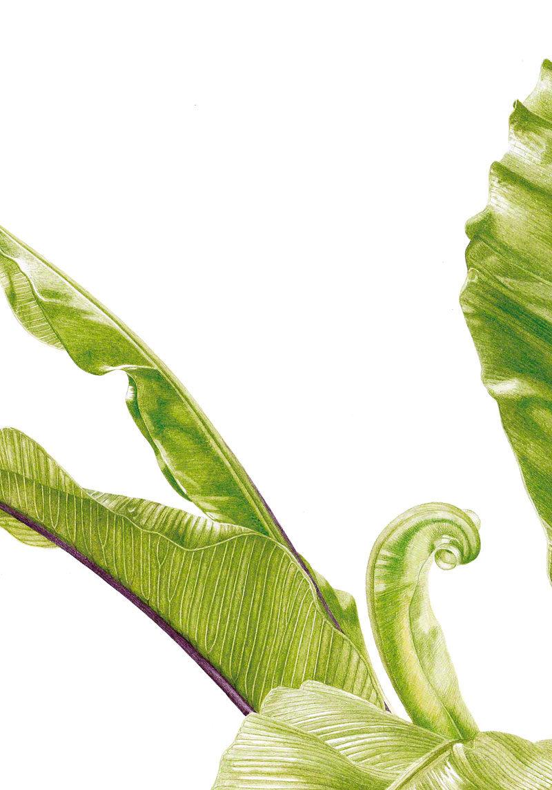 Asplenium nidus - watercolour