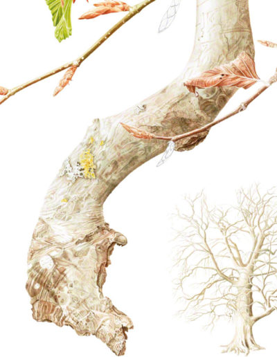 Beech Fagus sylvatica - watercolour 2015