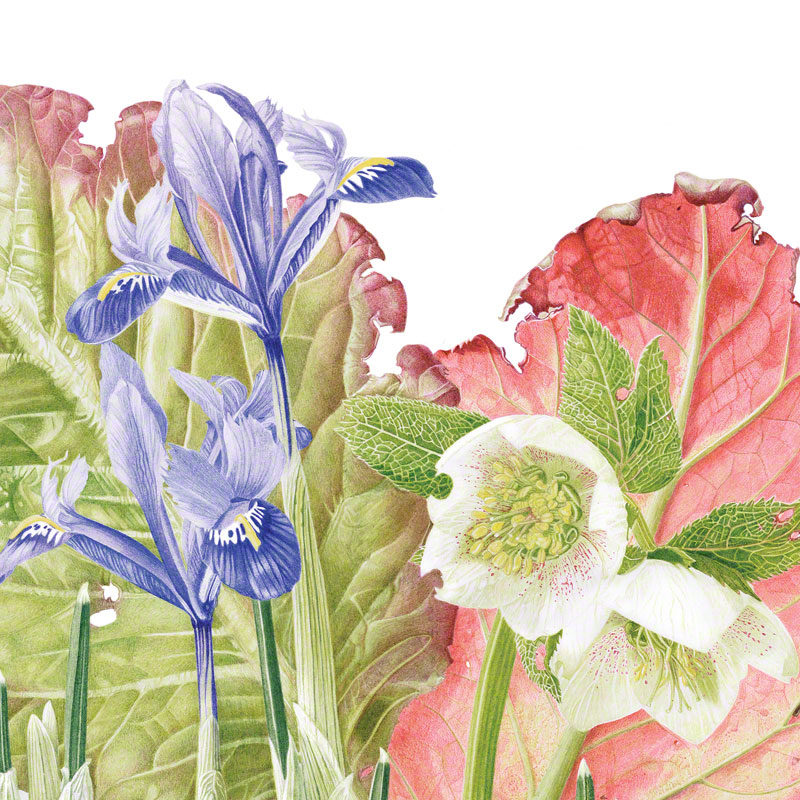 Bergenia, Hellebore & Iris gathering - watercolour 2015