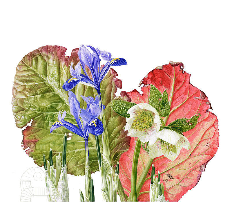 Berginia, Hellebore and Iris gathering