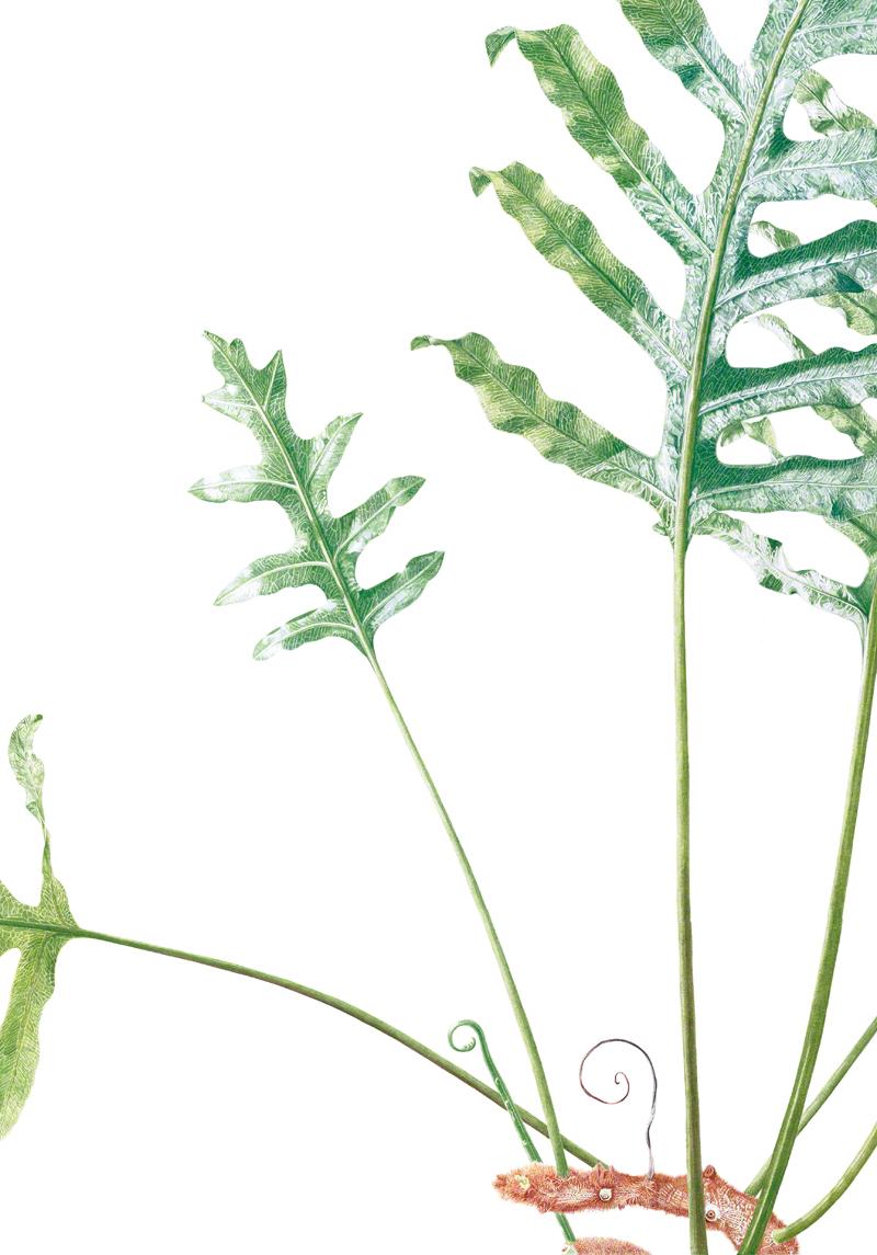 Phlebodium aureum - watercolour on Fabriano 5