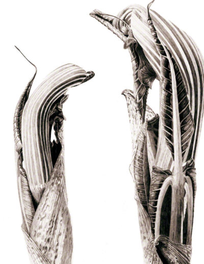 ink shoots - Arisaema ringens - ink 2016 -  SOLD Prints available