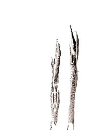 ink shoots - Arisaema galeiforme Serizawa - ink 2016 -  SOLD Prints available