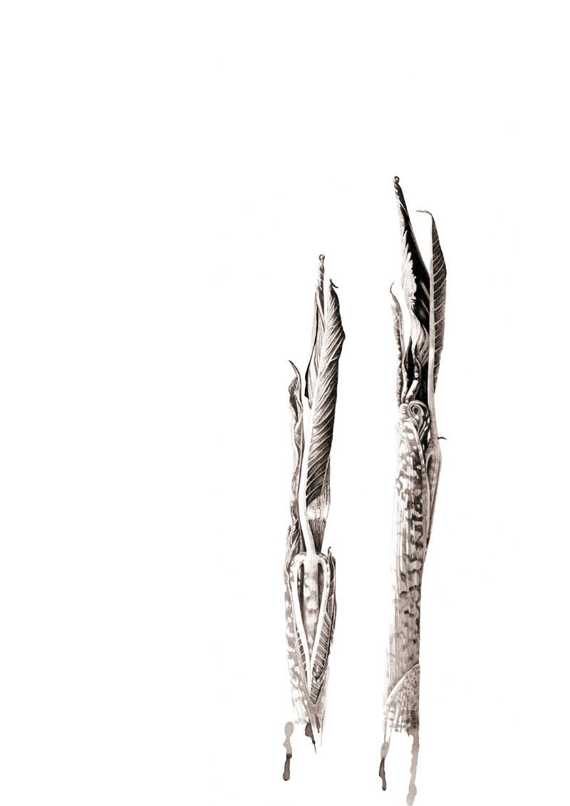 ink shoots - Arisaema galeiforme Serizawa - ink - SOLD Prints available
