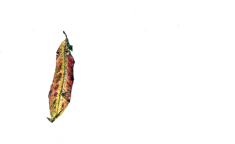 Leaf - colour pencil 2014