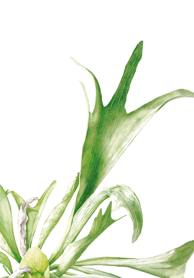 Platycerium sp. - watercolour on Fabriano 5