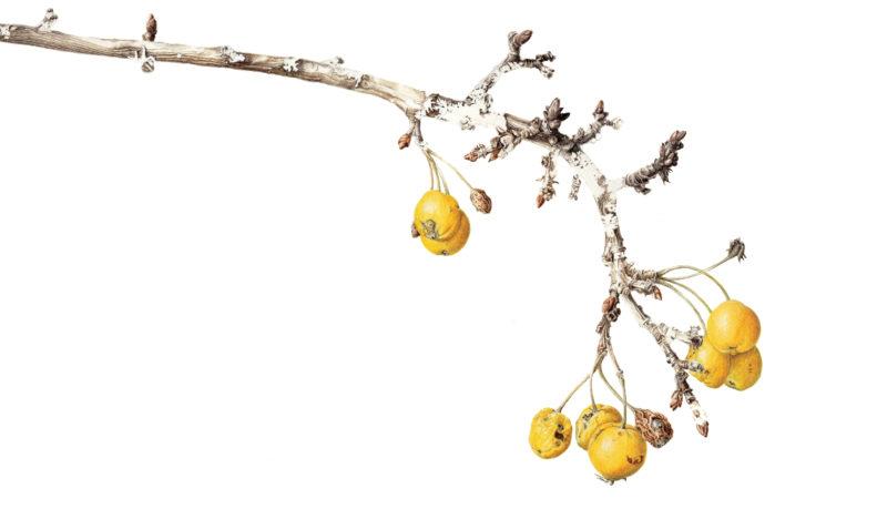 Golden Hornet crabapples - watercolour - crop - SOLD Prints available