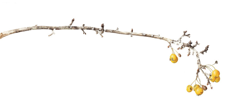 Golden Hornet crabapples - watercolour - SOLD Prints available