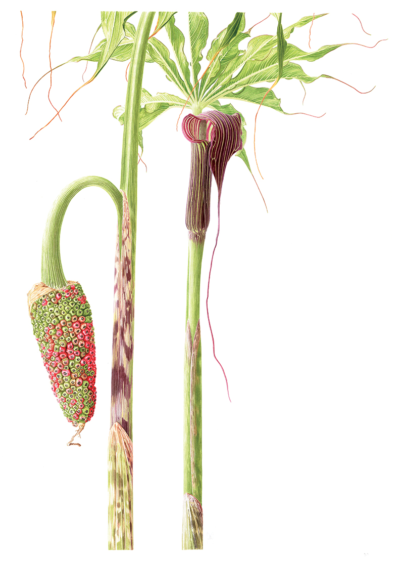 Arisaema consanguineum - watercolour on Fabriano 5