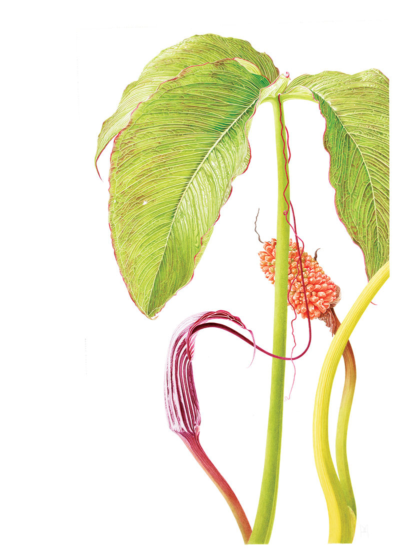 Arisaema costatum - watercolour on Fabriano 5