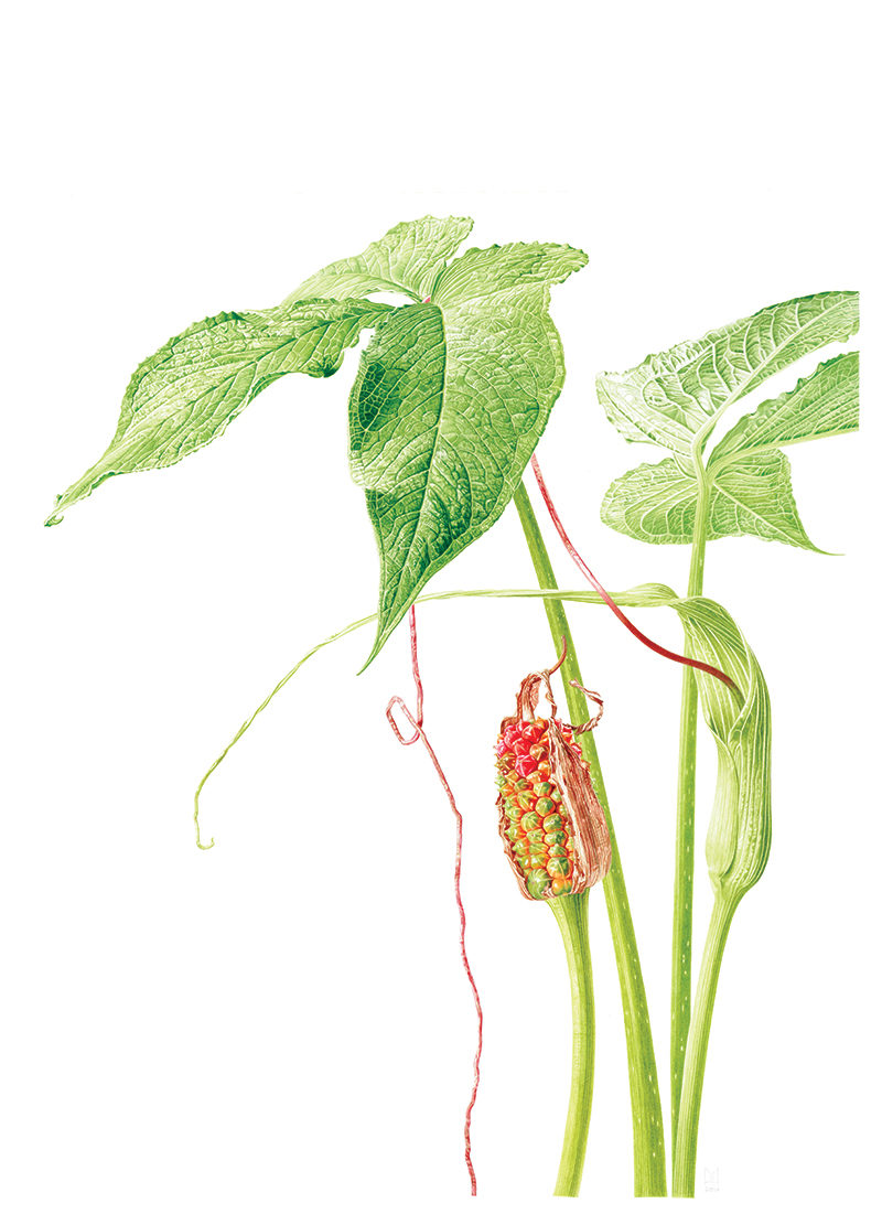 Arisaema intermedium - watercolour on Fabriano 5