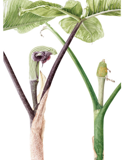 Arisaema ringens - watercolour on Fabriano 5