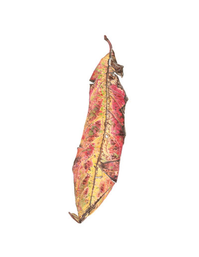 Leaf - colour pencil