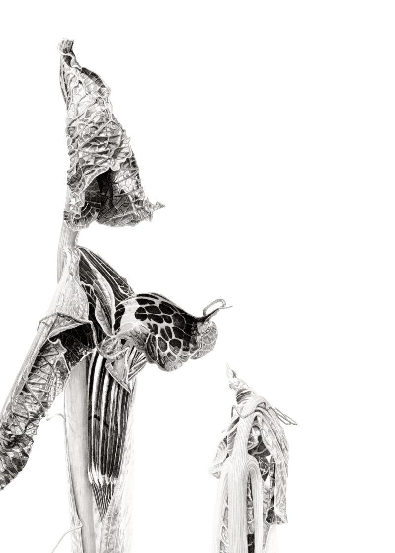 Arisaema griffithii - Japanese ink paste on Lambeth cartridge