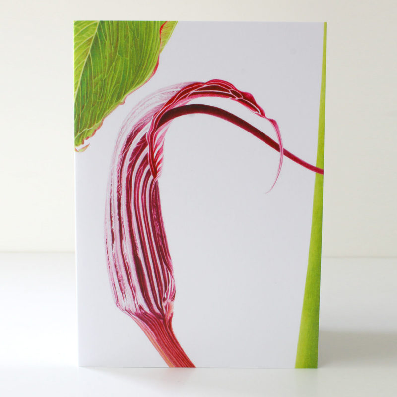 Arisaema costatum card