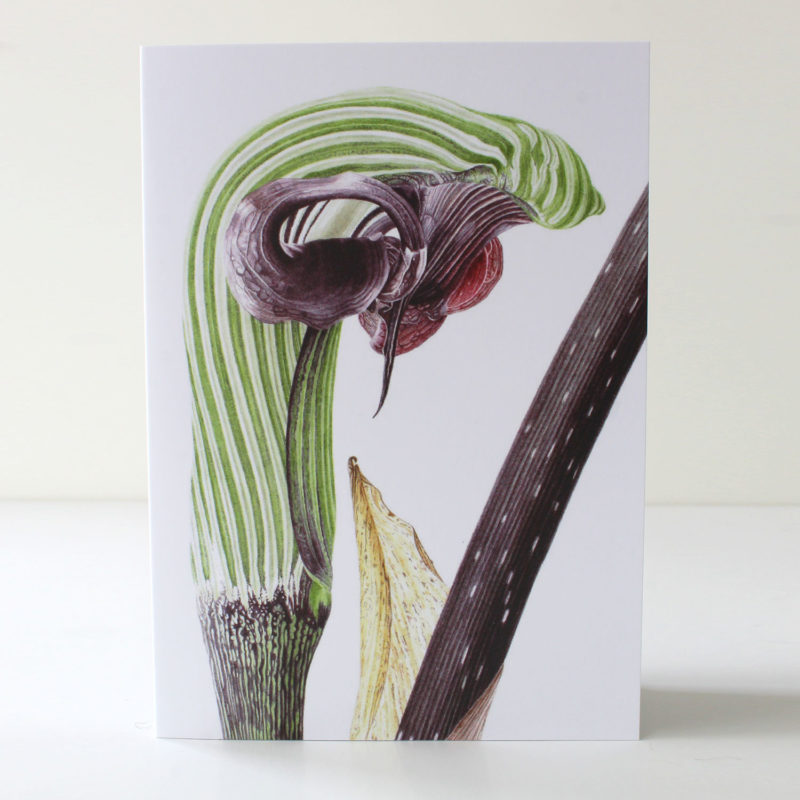 Arisaema ringens card