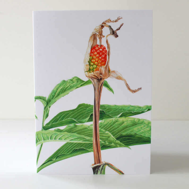 Arisaema serratum card