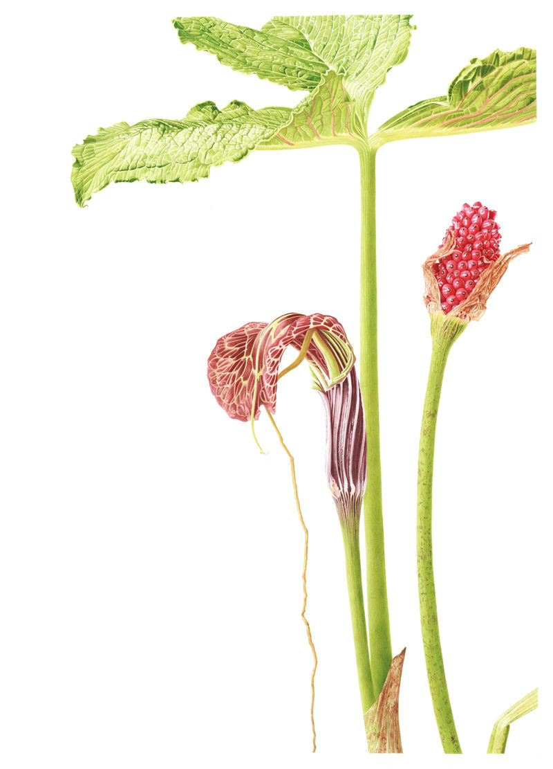 Arisaema griffithii - watercolour on Fabriano 5