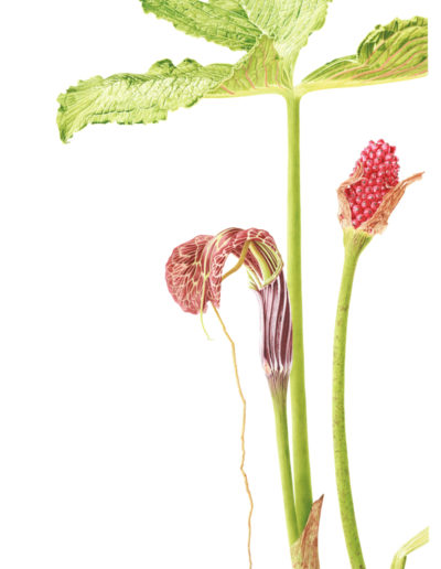 arisaema-griffithii