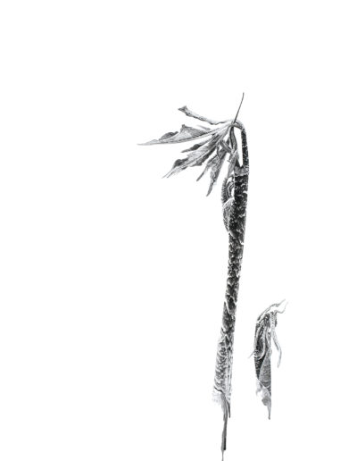 Arisaema tortuosum - Japanese ink paste on Lambeth cartridge 50 x 70cm - original and prints available