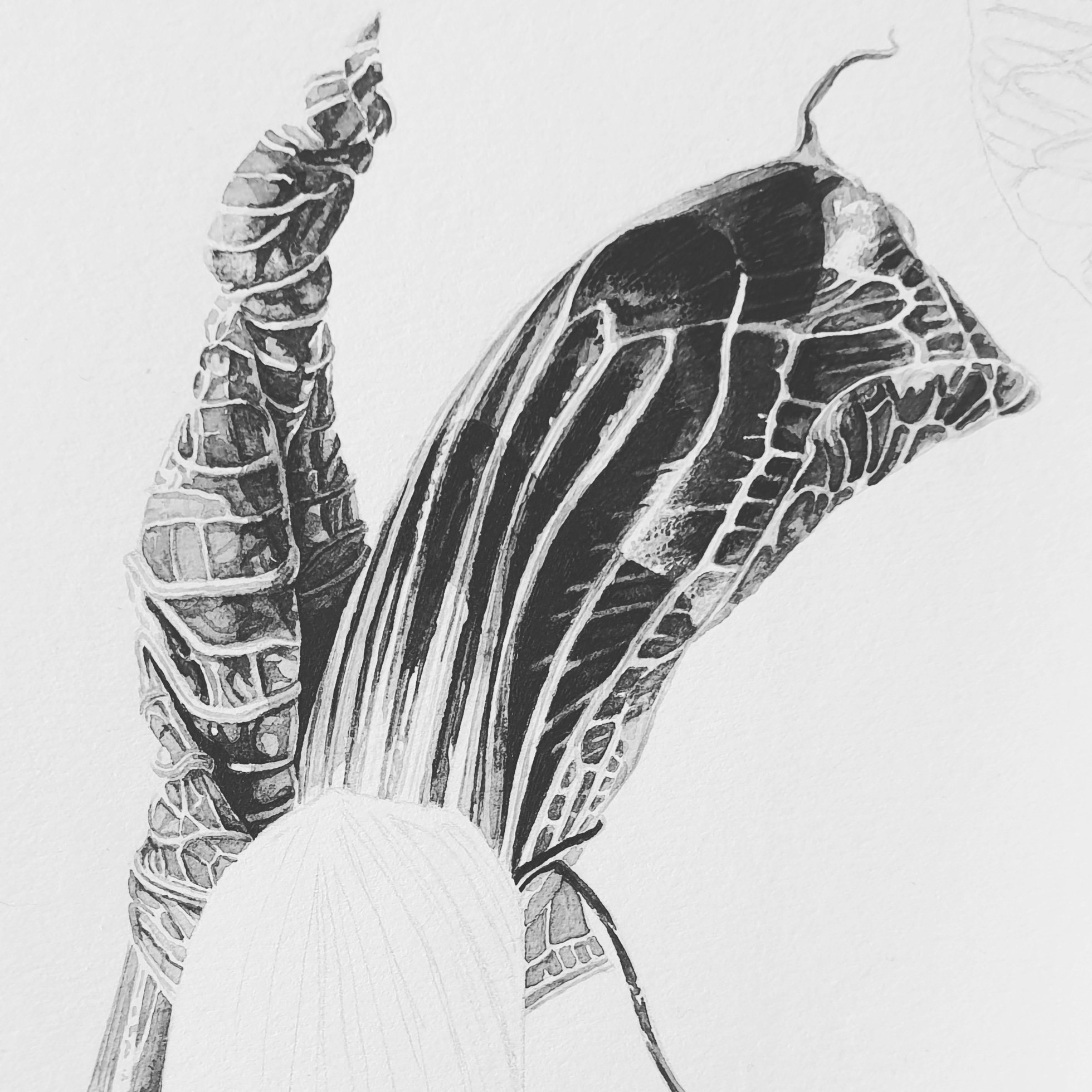 Progress shot - Arisaema griffithii Japanese ink paste on Lambeth Cartridge