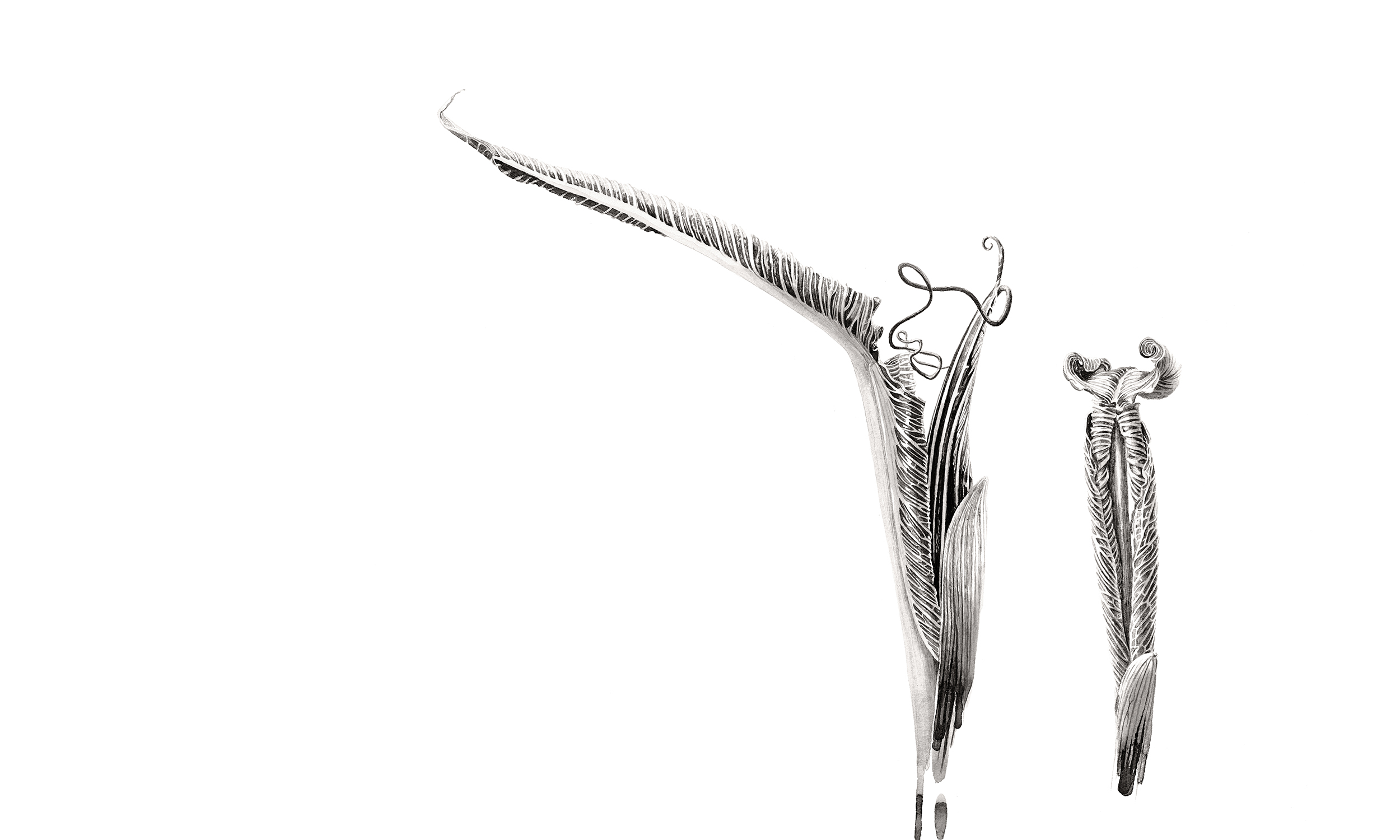 Arisaema costatum ink shoots - 2 shoots Japanese ink paste on Lambeth cartridge