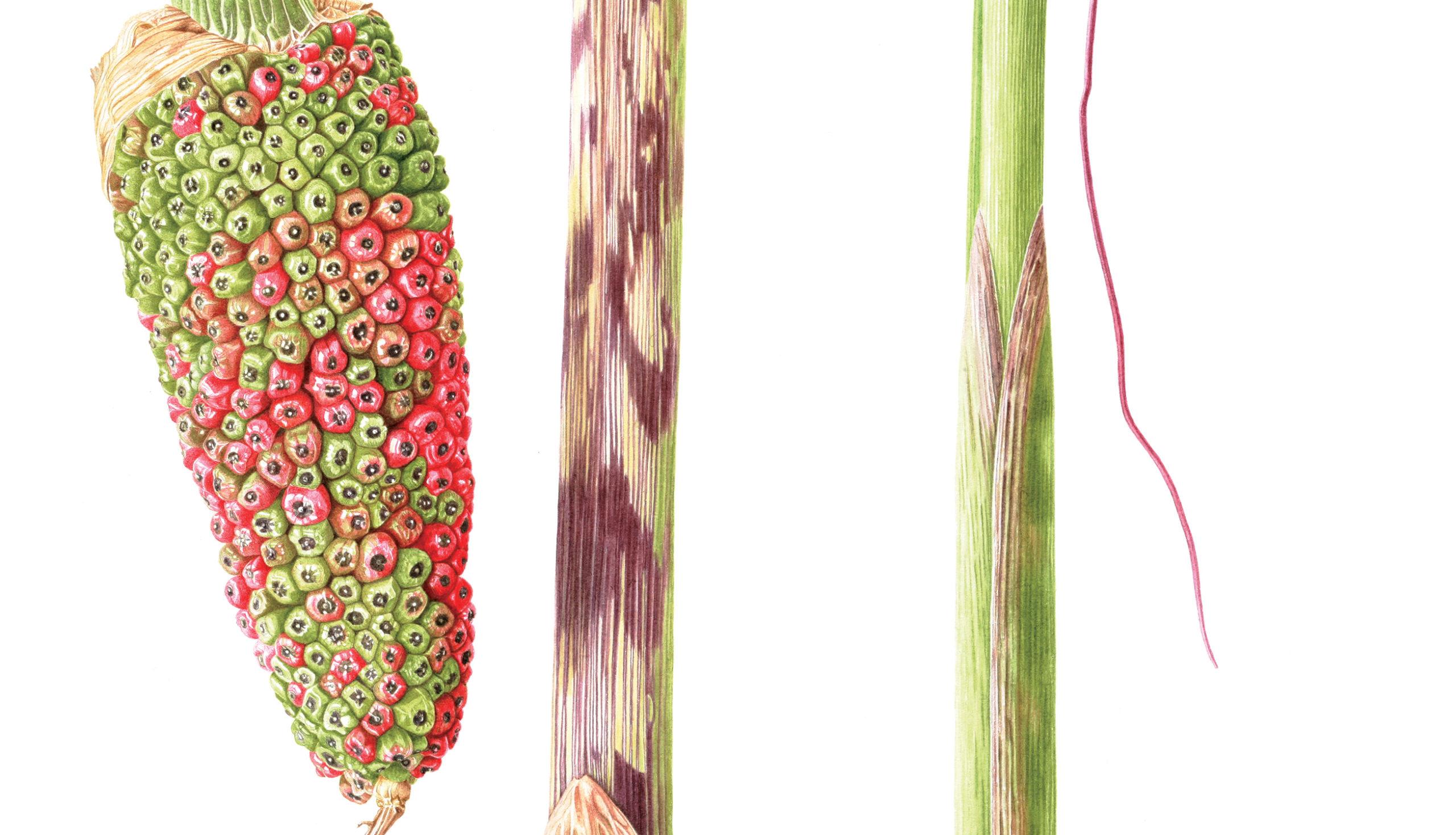 Ariseama consanguineum watercolour on Fabriano 5 - detail