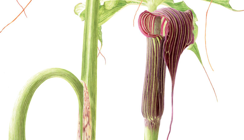 Arisaema consanguineum watercolour on Fabriano 5 - detail