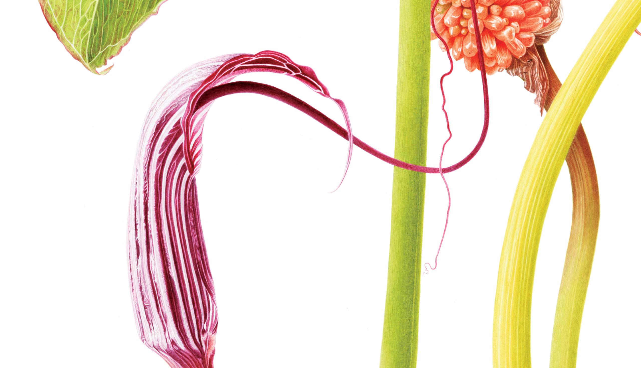 Arisaema costatum - watercolour on Fabriano 5 - detail