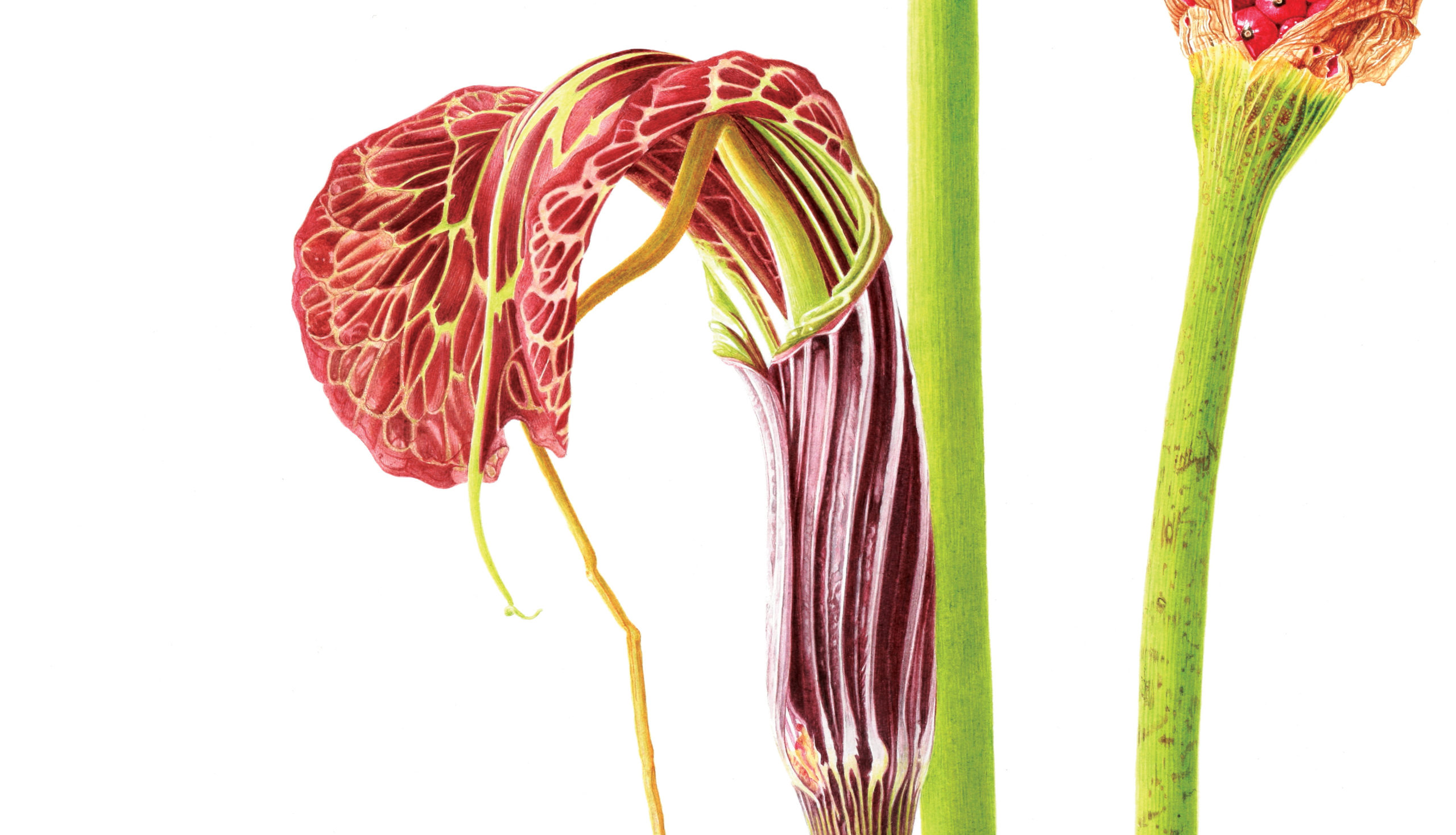 Arisaema griffithii watercolour on Fabriano 5 - detail