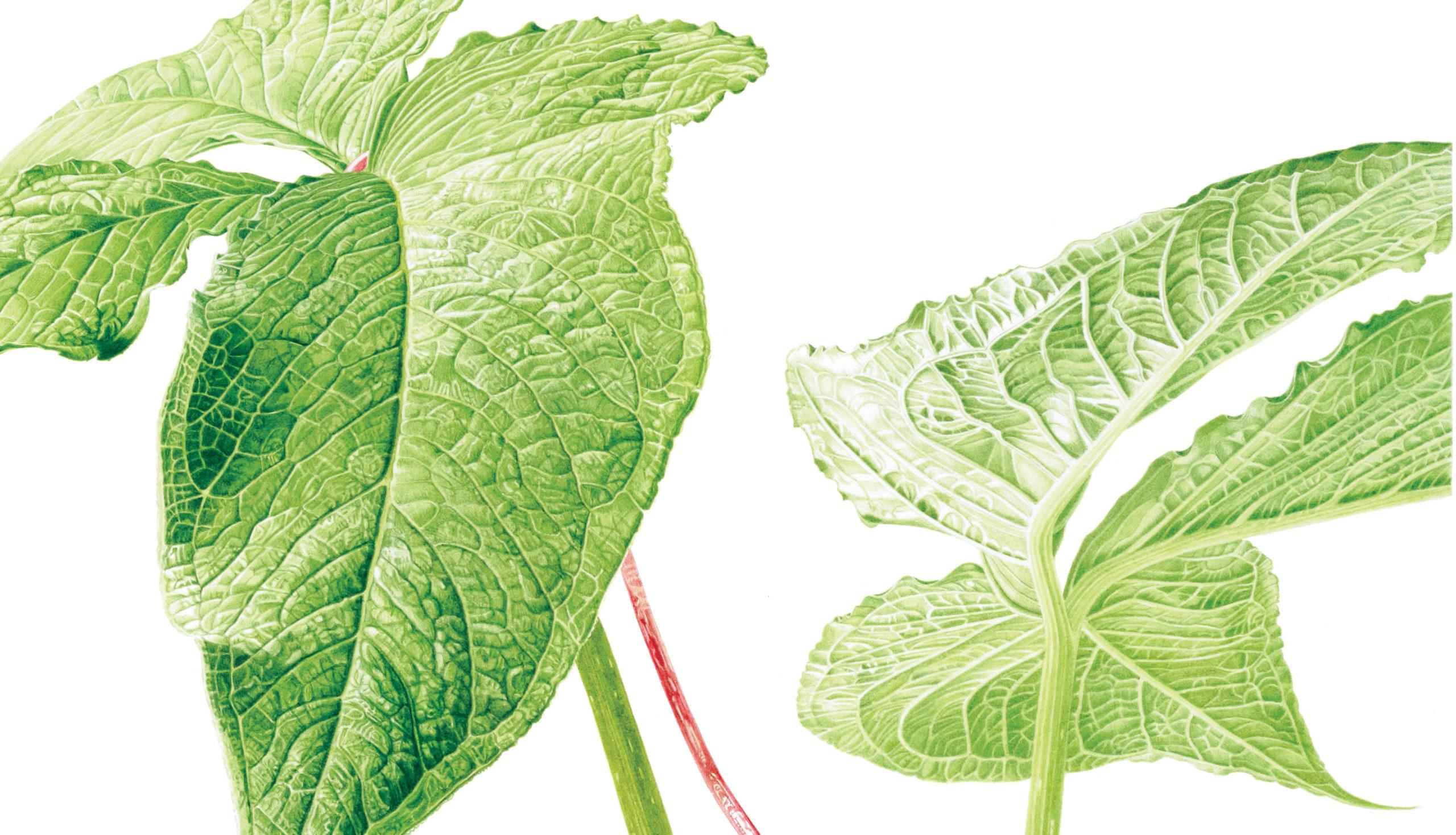 Arisaema intermedium watercolour on Fabriano 5 - detail
