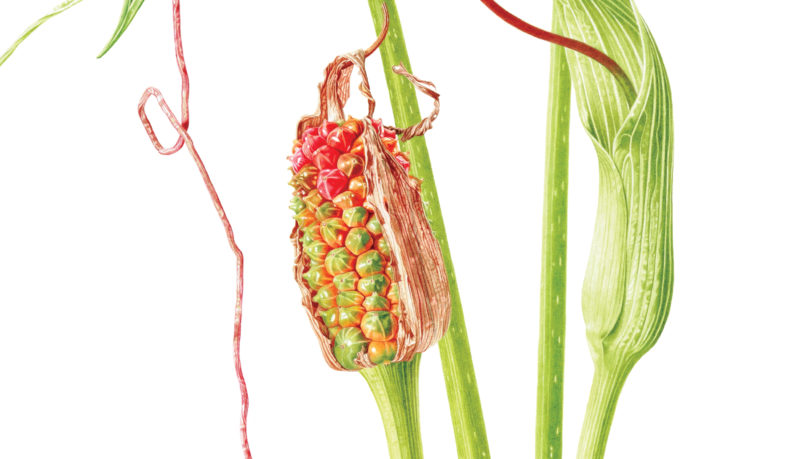 Arisaema intermedium watercolour on Fabriano 5 - detail