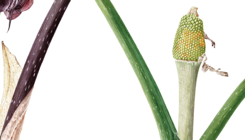 Arisaema ringens watercolour on Fabriano 5 - detail