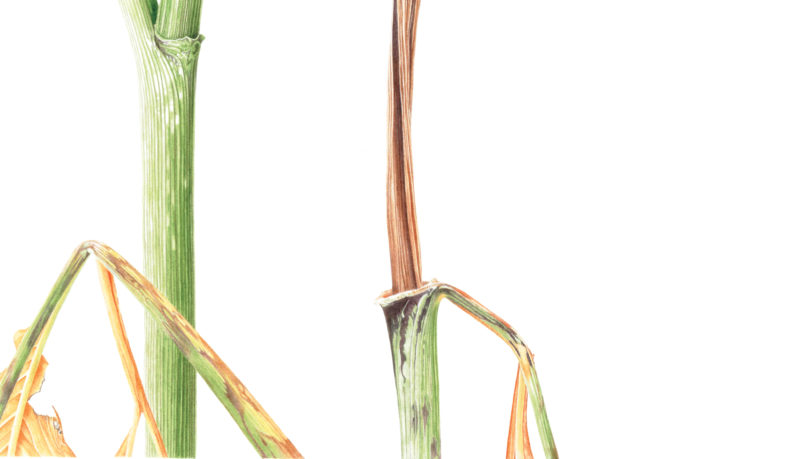 Arisaema serratum watercolour on Fabriano 5 - detail