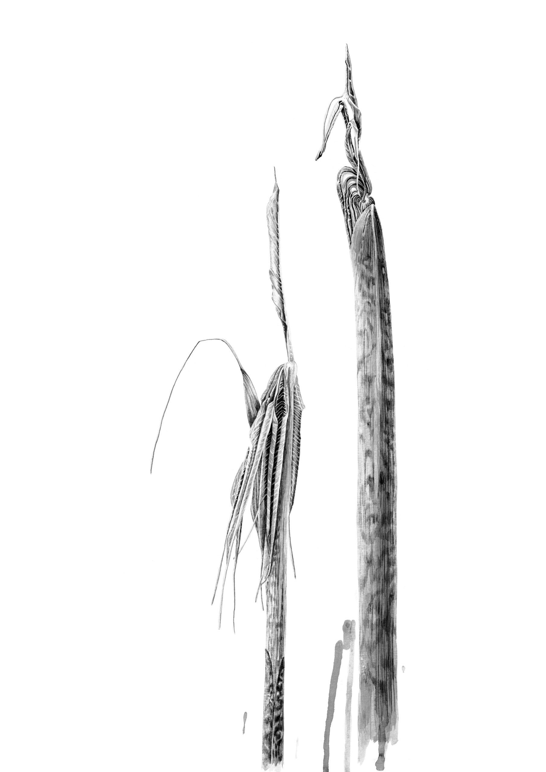 Arisaema consanguineum ink shoots  Japanese ink paste on Lambeth cartridge