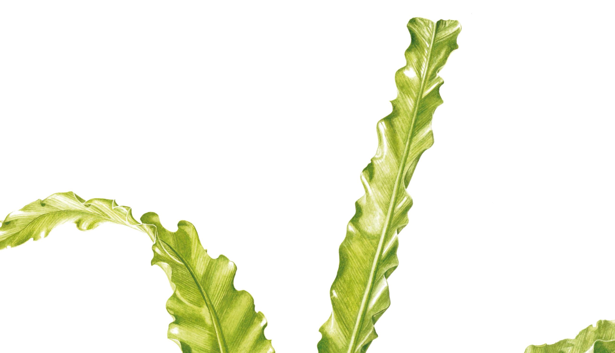 Ferns Asplenium antiquum Victoria watercolour on Fabriano 5