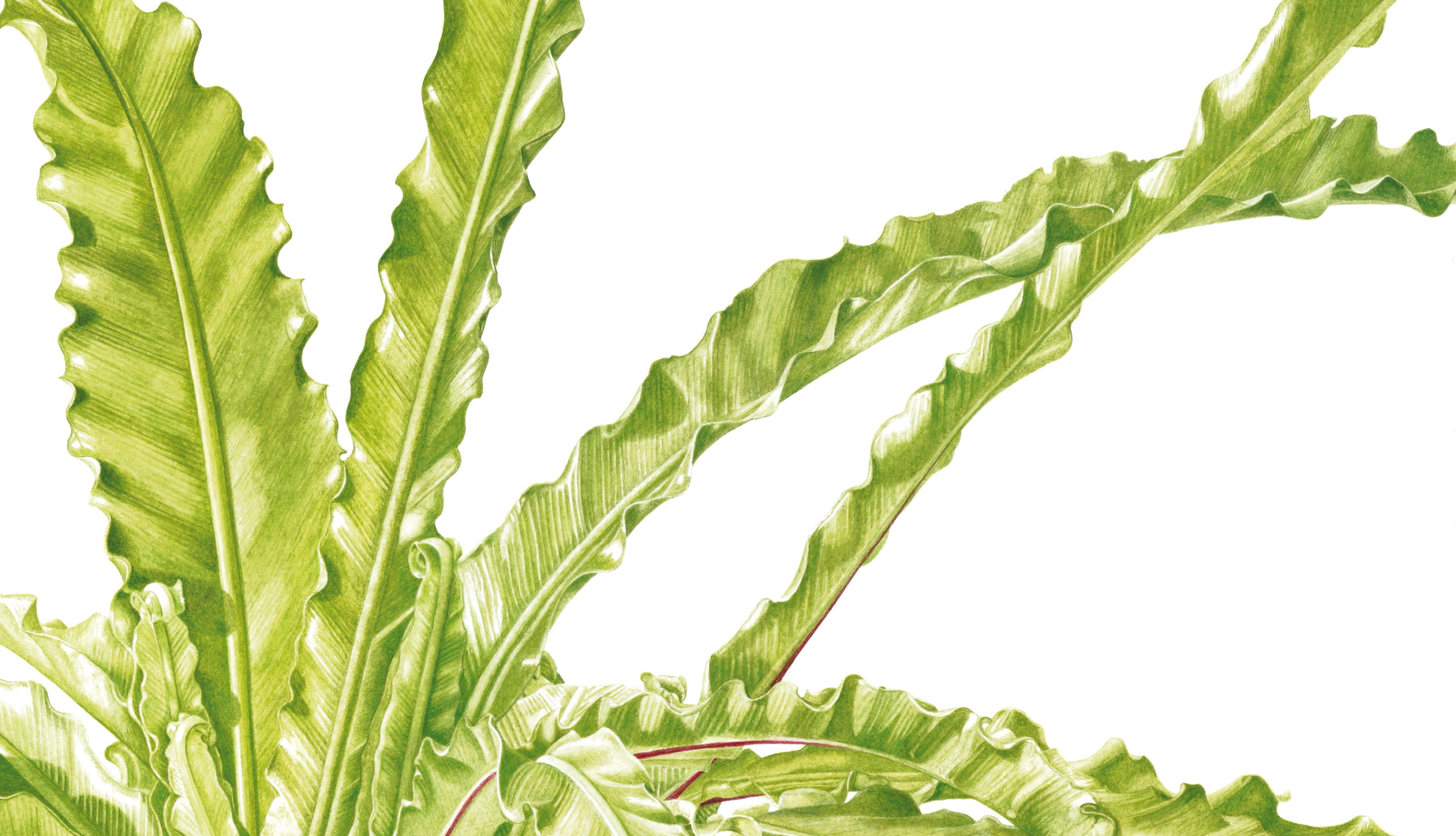 Ferns Asplenium antiquum Victoria watercolour on Fabriano 5