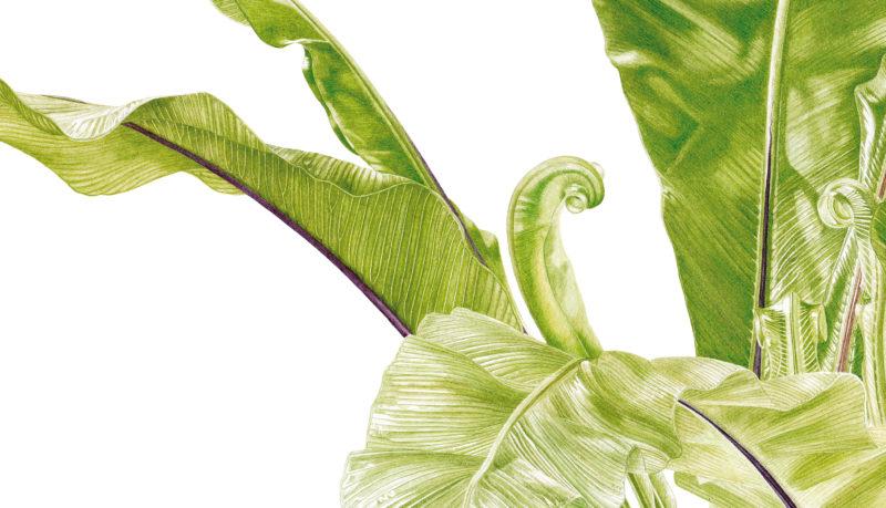 Ferns Asplenium nidus watercolour on Fabriano 5